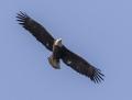 Bald Eagle - valkopäämerikotka