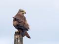 Black kite - haarahaukka