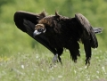 Black vulture - munkkikorppikotka