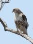 Broad-winged hawk - viheltäjähiirihaukka