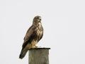Common buzzard - hiirihaukka