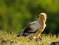 Egyptian vulture - pikkukorppikotka