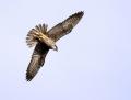 Eleonora's falcon - välimerenhaukka