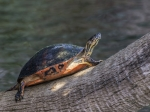 11a-a74x8418red-bellied-cooter-pseydemys-nelsoni