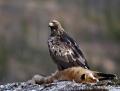 Golden eagle - maakotka