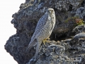 Gyr falcon - tunturihaukka