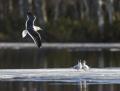 Lesser black-backed gull, black-headed gull