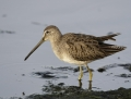 Long-billed dowitcher - tundrakurppelo