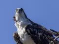 Osprey - Sääksi