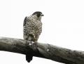 Peregrine falcon - muuttohaukka