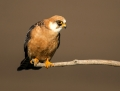 Red-footed falcon - punajalkahaukka