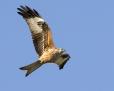 Red kite - isohaarahaukka