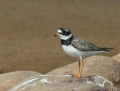 Ringed plover - tylli