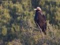 Spanish imperial eagle - keisarikotka