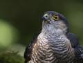 Sparrow hawk - varpushaukka