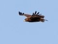 Spotted eagle - kiljukotka