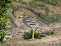Stone curlew - paksujalka