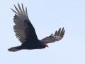 Turkey vulture - kalkkunakorppikotka