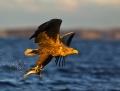 White-tailed eagle - merikotka
