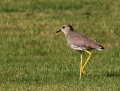 White-tailed lapwing - suohyyppä