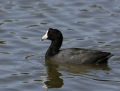 american-coot1010a