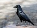 American crow - amerikanvaris