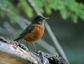 American robin - punarintarastas