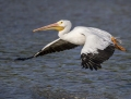 American white pelican - amerikanpelikaani