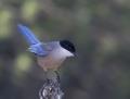 Azure-winged magpie - siniharakka