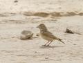 Bar-tailed lark - pikkuaavikkokiuru
