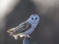 Barn owl - tornipöllö