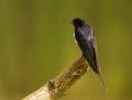 Barn swallow - haarapääsky