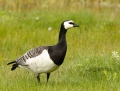 Barnacle goose - valkoposkihanhi