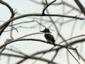 Belted kingfisher - sepelkalastaja