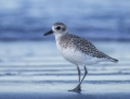 Black-bellied plover - tundrakurmitsa
