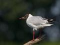 Black-headed gull - naurulokki