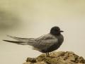 Black tern - mustatiira