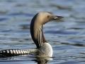 Black-throated diver - kuikka