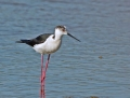 Black-winged stilt - pitkäjalka
