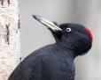 Black woodpecker - palokärki