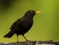 Blackbird - mustarastas