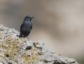 Blue rock thrush - sinirastas