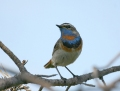 Bluethroat - sinirinta