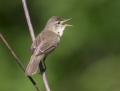 Blyth's reed warbler - viitakerttunen