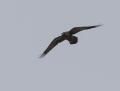 Brown-necked raven - arokorppi