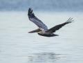 Brown pelican - ruskopelikaani