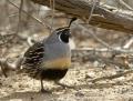 California quail - kaliforniantupsuviiriäinen