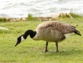Canada goose - kanadanhanhi