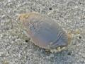 Mole crab