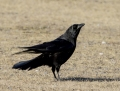 Carrion crow - nokivaris